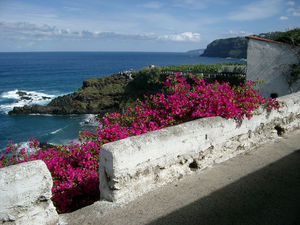 Blooming Shrub at Bollullo Beach, Tenerife