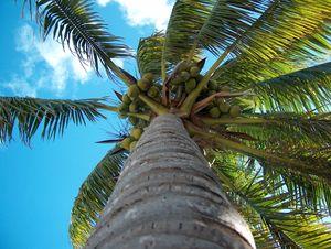 Mauritius - palma